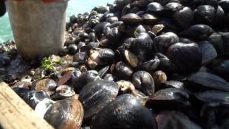 Зарывающийся моллюск: в чём подозревают приморских добытчиков спизулы