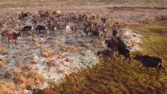 Изгородное оленеводство на Ямале: с какими проблемами сталкиваются владельцы рогачей