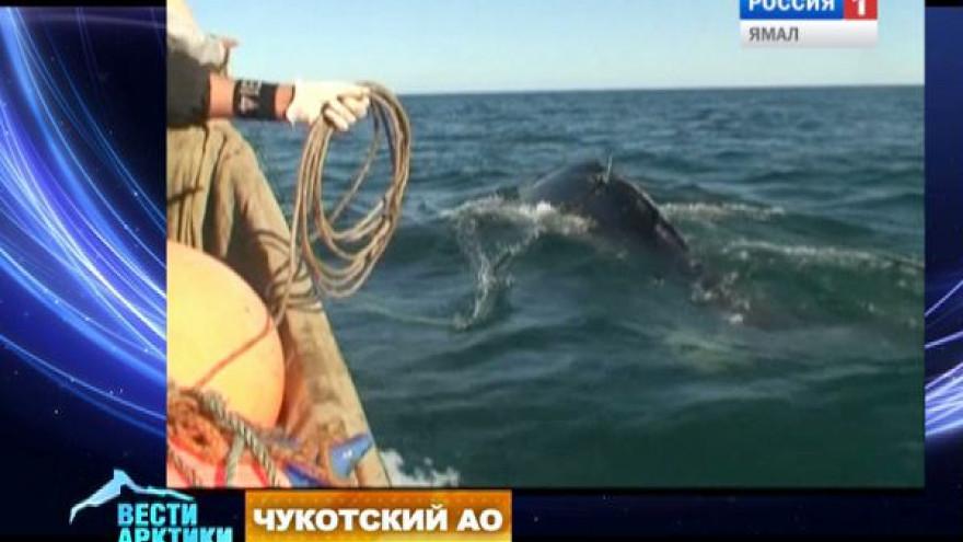 На Чукотке хотят возродить морской зверобойный промысел