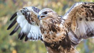 Выходили и поставили на крыло: неравнодушные ямальцы спасли хищную птицу ВИДЕО