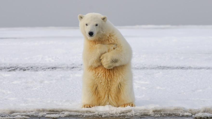 На Чукотке местные жители объединились, чтобы выгнать белых медведей из села