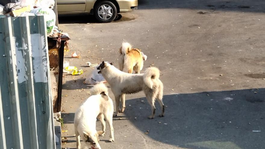 Бродячие псы держат в страхе жителей Надыма