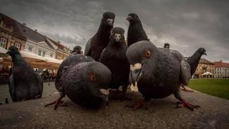 Проблемная птица мира: голуби заполонили чердаки Владивостока