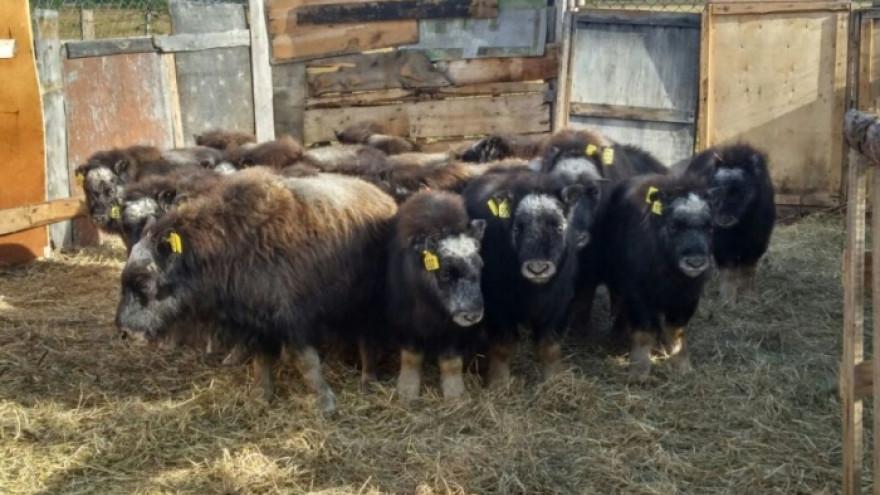 Ямальские овцебыки прибыли в Якутию и чувствуют себя хорошо!