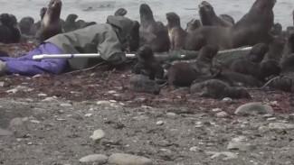 Запутались в пластике: на Сахалине развернули операцию по спасению тюленей