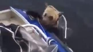 На Ямале рыбаки сачком выловили уставшего медвежонка ВИДЕО