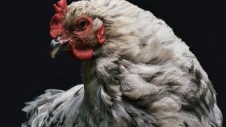 Яйцо или курица: бизнесмен из Чукотки организовал птицеферму