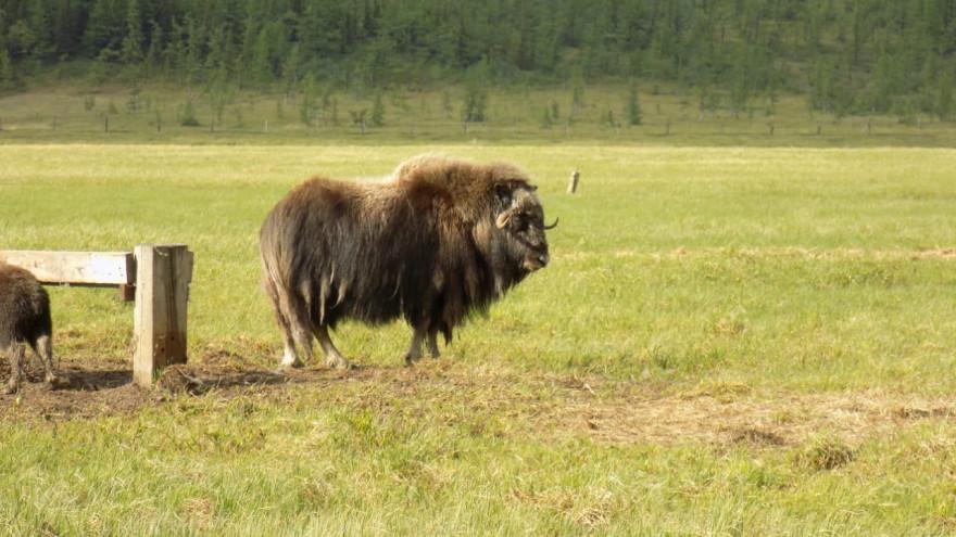 В «Полярно-Уральском» пересчитали овцебыков и встретили новых постояльцев ФОТО