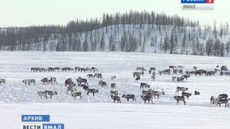 На поддержку северного оленеводства Ямал дополнительно направит 164 млн. рублей