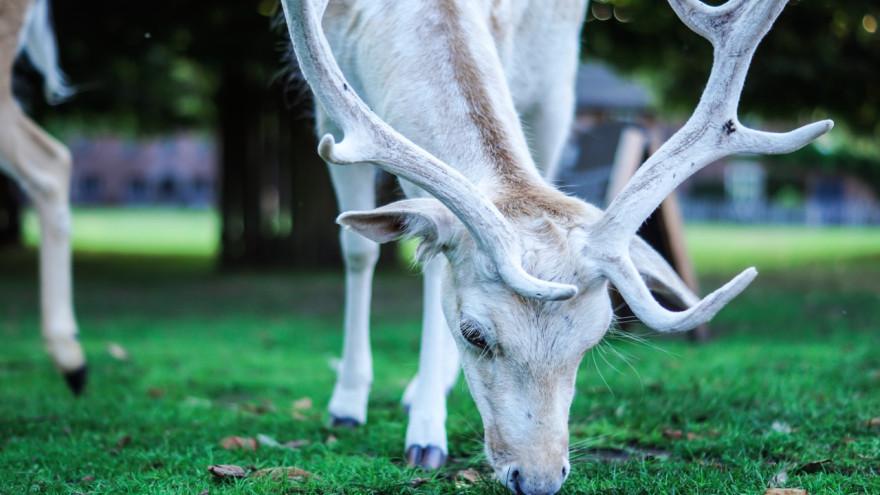 Белые северные олени с голубыми глазами встречаются на Ямале всё чаще