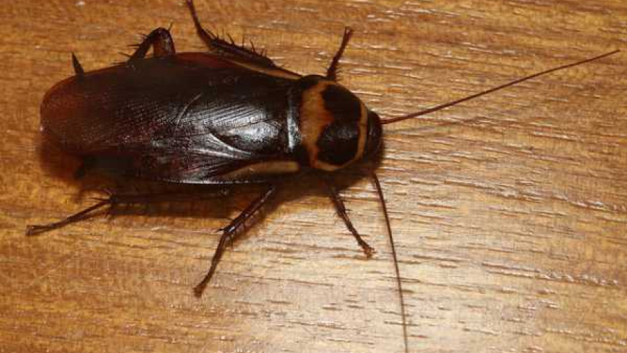 Тараканы захватили в Надыме целый дом