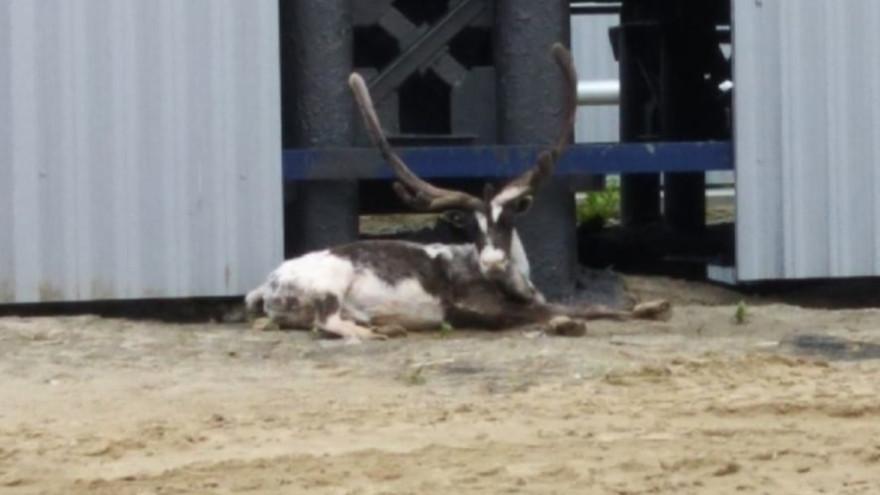 В Ямальском районе разыскивают хозяев гордого и красивого оленя