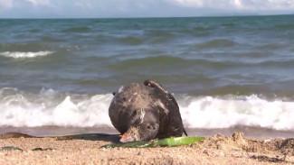 Кладбище птиц на пляже: в чем причина массового падежа тупика-носорога в Приморье