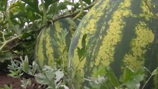 Климат не помеха: якутские фермеры выращивают арбузы, дыни и клубнику на вечной мерзлоте