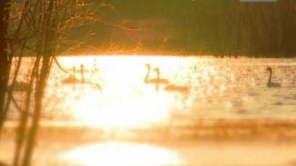 Озеро, лебеди, Куноват...
