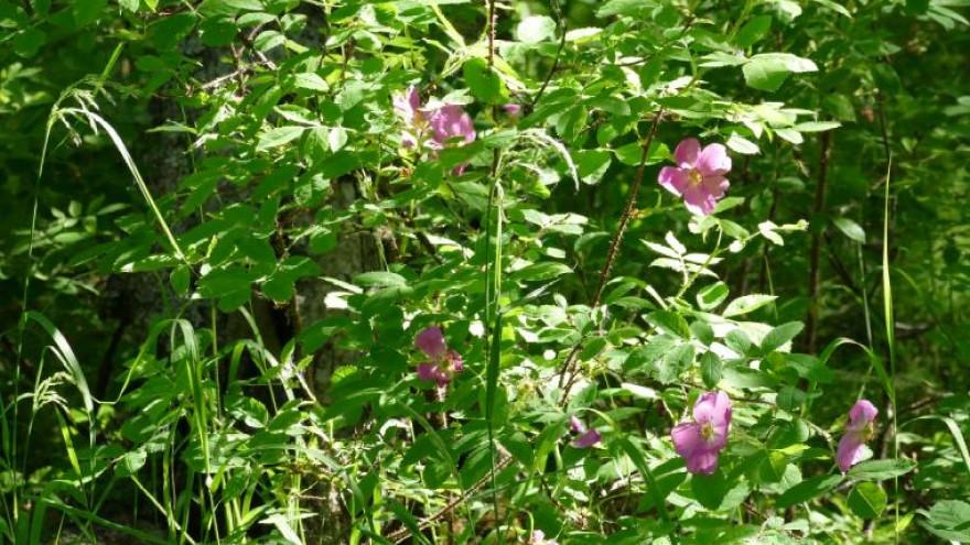 Времена года – лето: Раннее лето. Букет из солнца, комаров и дикой розы