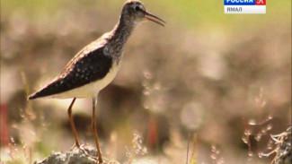 Удивительные птицы Ямала. Это видео стоит посмотреть
