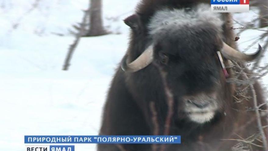 «Таких худых животных мы не видели нигде». Ямальским овцебыкам требуется срочная помощь