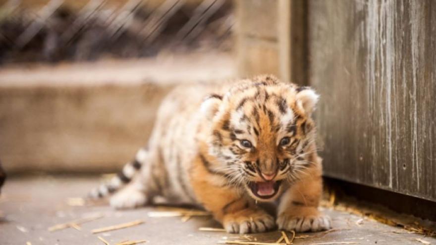 Полицейские Ямала и Югры спасли амурского тигра