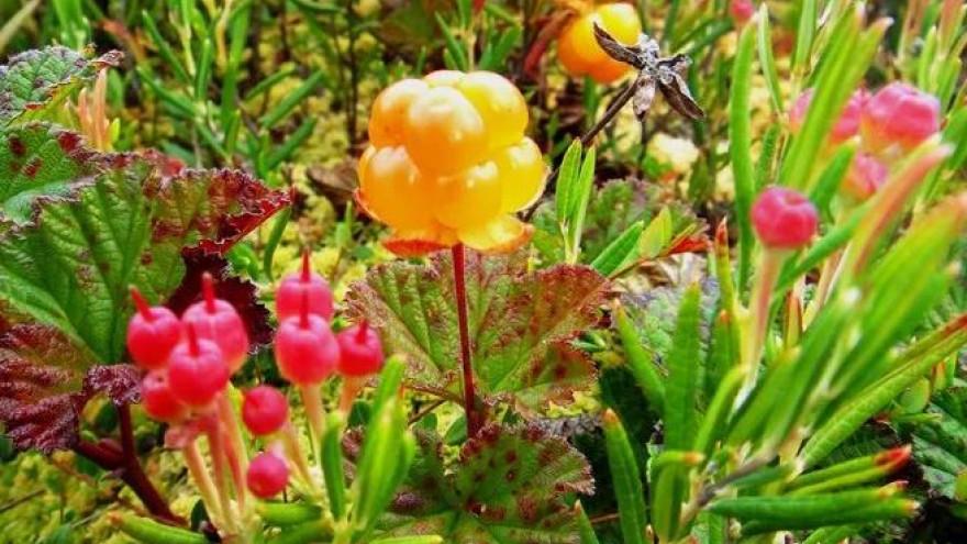 Аномальная погода: в России ждут «персиковое», а на Ямале - «морошковое» лето