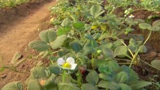 Садовая ягода в вечной мерзлоте: как на якутской земле выращивают итальянскую землянику