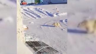 ВИДЕО: белый медведь держит в страхе жителей Диксона