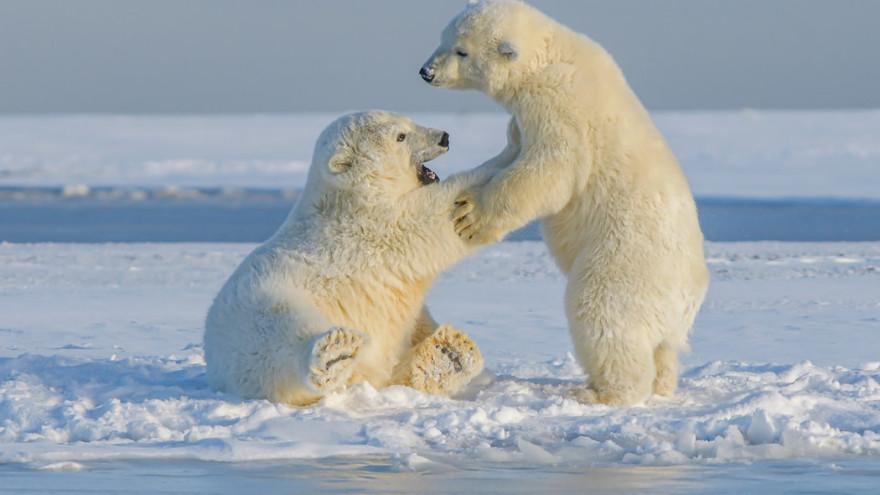 Ученые начали облёты арктических территорий для учёта популяции белых медведей