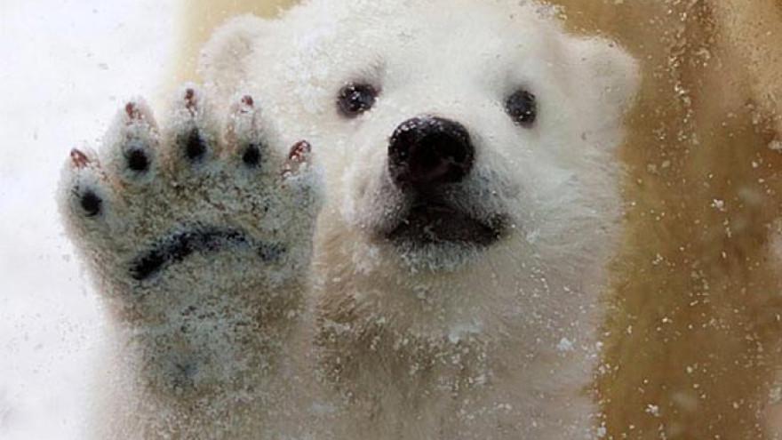 Ученые ищут ясли белых медведей на острове Белый