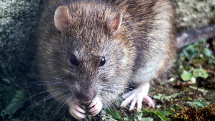 В Салехарде компании «Авето» пригрозили крупным штрафом за крысиную свалку