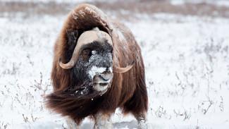 Денис Теребихин - об успешном опыте восстановления популяции овцебыков на Ямале