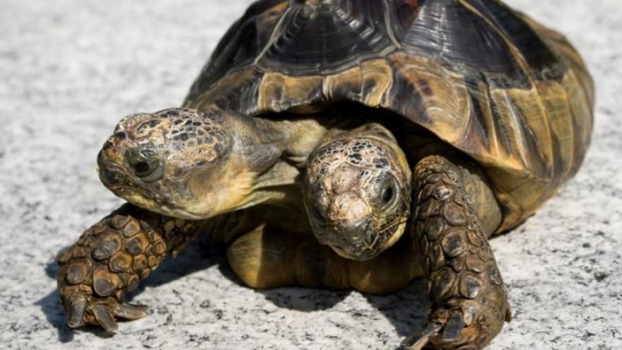 27 мая. Календарь истории: двухголовая черепаха, первый в мире полёт на стратостате, серия значимых и комичных рекордов