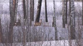 В Красноярском крае косули не могут пробраться к еде и становятся легкой добычей для браконьеров