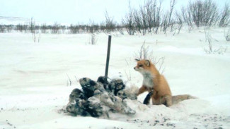 How Yamal scientists use photo traps to study predator fauna in Erkuta.