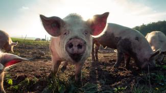 В Магадане сожгут более 300 свиней из-за вспышки африканской чумы