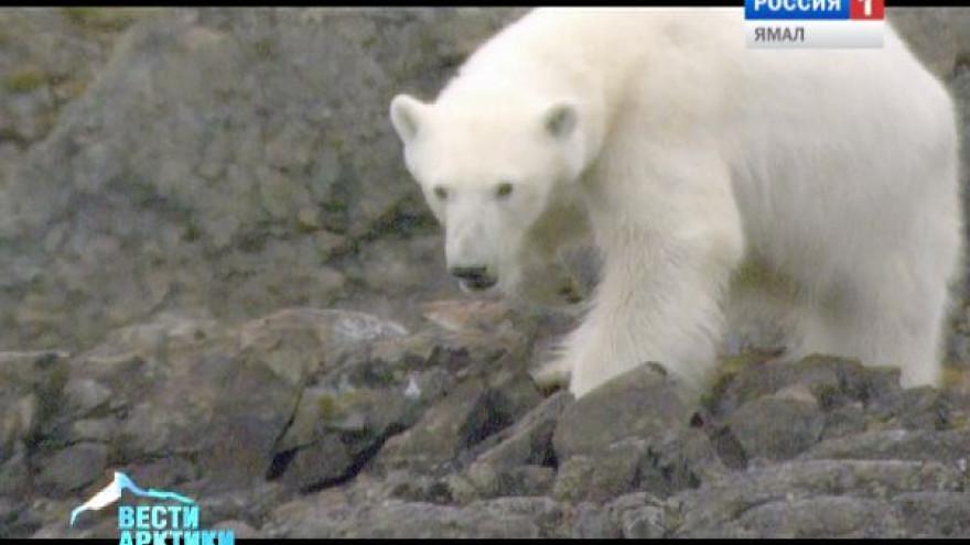 Белые медведи были повседневной пищей для древних охотников