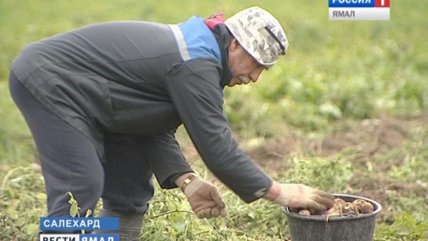 На Ямале урожай «второго хлеба» побил все рекорды