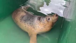 Выходили и отпустили в свободное плавание: история спасения 4 тюленят в Калининграде