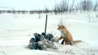 How Yamal scientists use photo traps to study predator fauna in Erkuta.