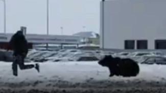 «Ситуация была создана человеком»: нижневартовскому медведю-дебоширу сохранят жизнь
