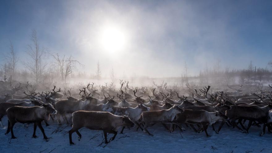 На Ямале завершилась вакцинация оленей