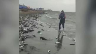 «Селёдочный ажиотаж»: на берег Сахалина массово выбросилась рыба