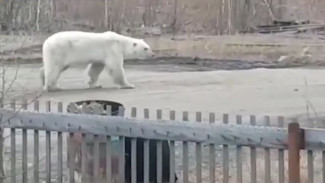 Незваный гость обезврежен: в Якутии поймали белого медведя, терроризировавшего целый посёлок