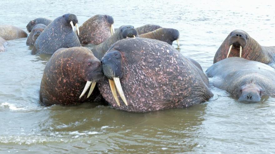 Лежбище ямальских моржей может стать уникальной лабораторий под открытым небом