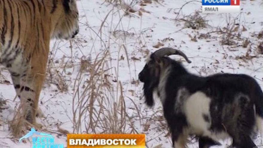 Тигр Амур и козел Тимур стали новыми реалити-звездами. За неразлучной парочкой теперь можно следить онлайн