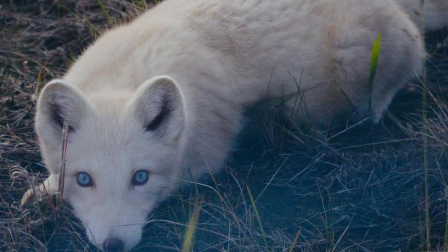 Голубоглазый блондин: в ЯНАО замечен песец-альбинос ФОТО