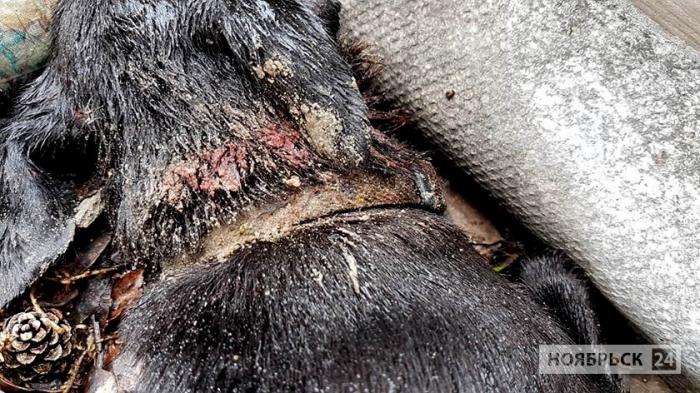Житель Ноябрьска на своем участке обнаружил убитую собаку