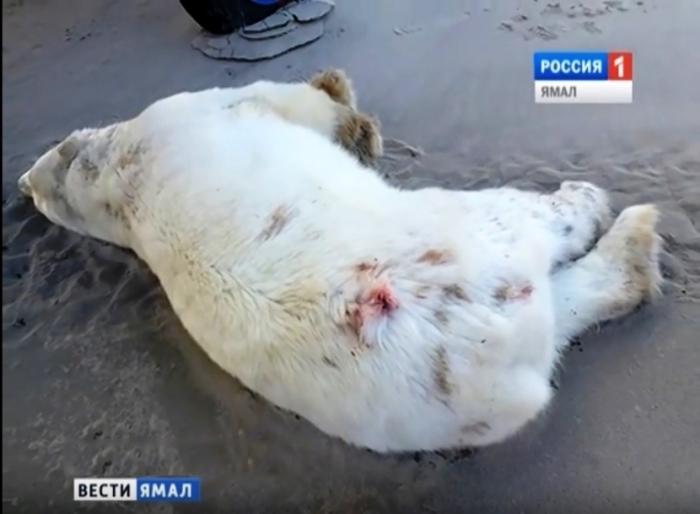 На Ямале понесет наказание браконьер, убивший белого медведя
