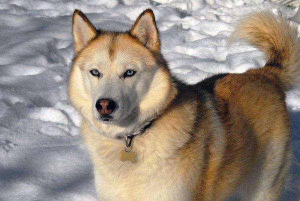 История одной собаки: лайка из Екатеринбурга выжила в ямальской тундре