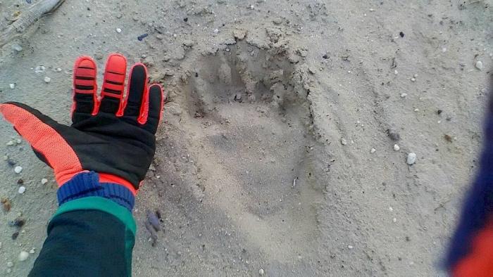 В окрестностях Ноябрьска бродят медведи: фото