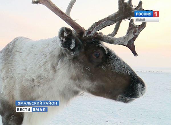 Северный олень на Ямале